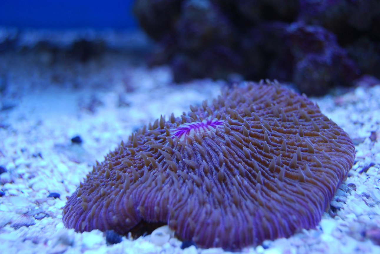 corals inverts - fungia repanda - plate coral, short tentacle stocking in 65 gallons tank - pink Plate coral