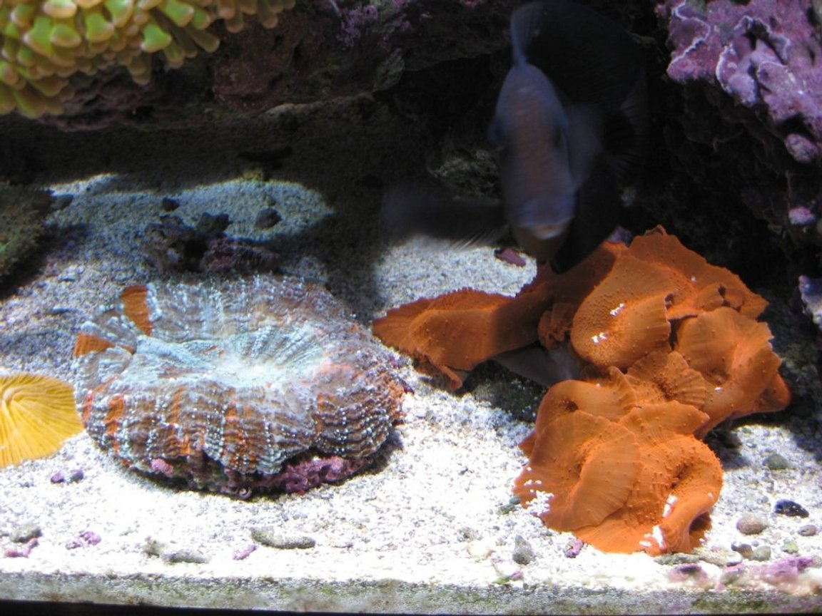 corals inverts - actinodiscus sp. - red mushroom stocking in 120 gallons tank - Red Mushroom, Open Brain, Orange Plate