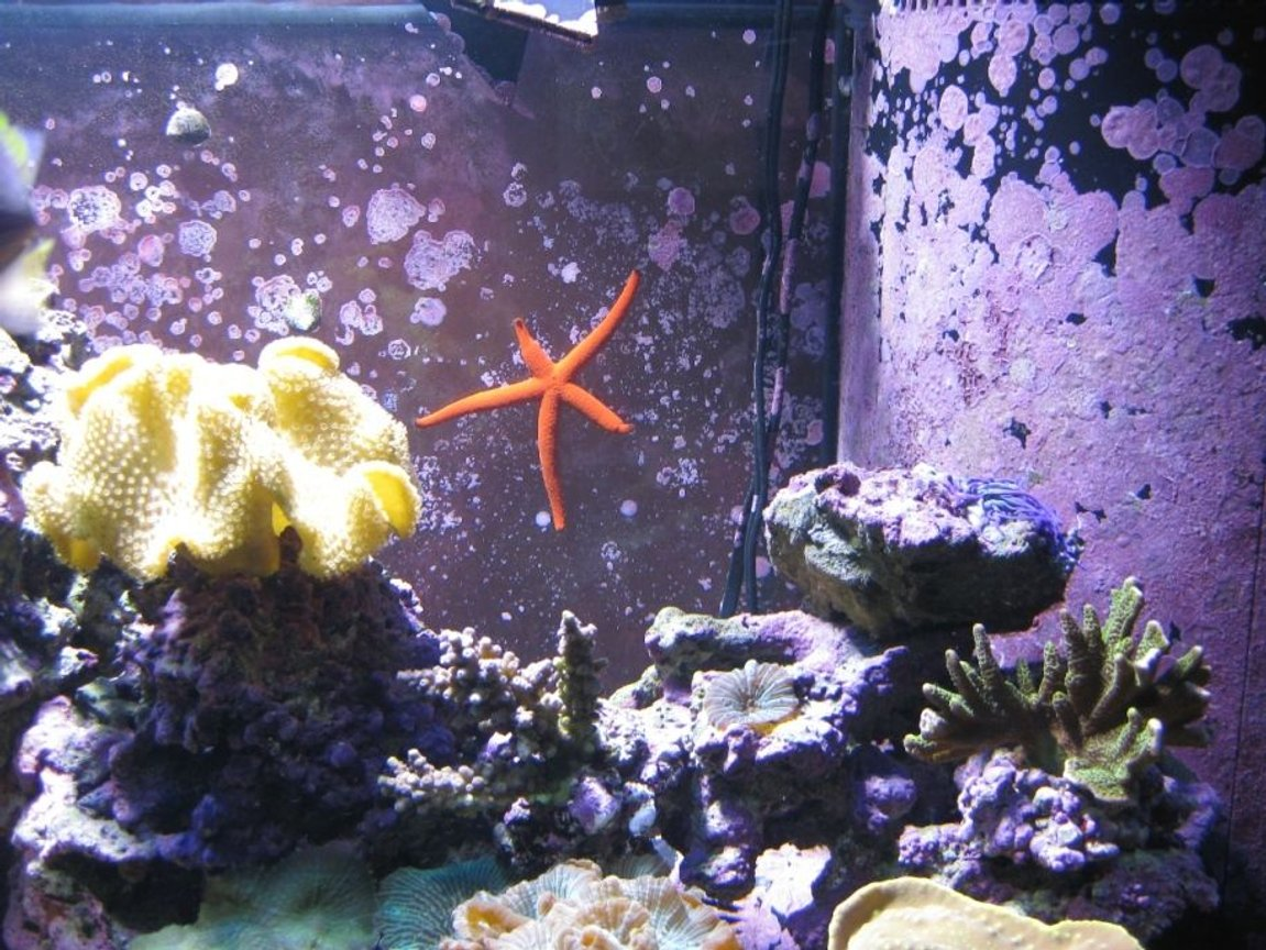 corals inverts - sarcophyton elegans - yellow fiji leather coral stocking in 120 gallons tank - Yellow Leather, Red Star Fish, Elkhorn, Blue Acro