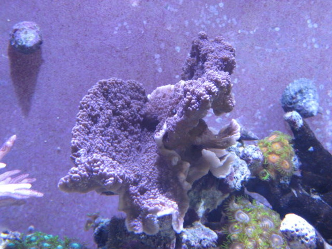 corals inverts - zoanthus sp. - button polyp stocking in 46 gallons tank - Corals