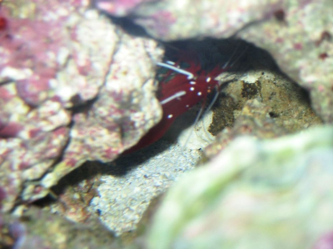 corals inverts - lysmata debelius - blood red fire shrimp stocking in 75 gallons tank - Red shrimp