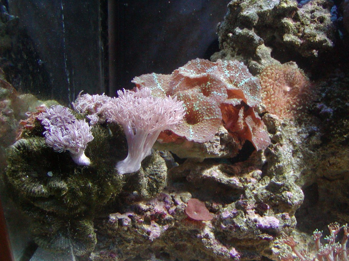 corals inverts - rhodactis indosinensis - hairy mushroom stocking in 75 gallons tank - coral