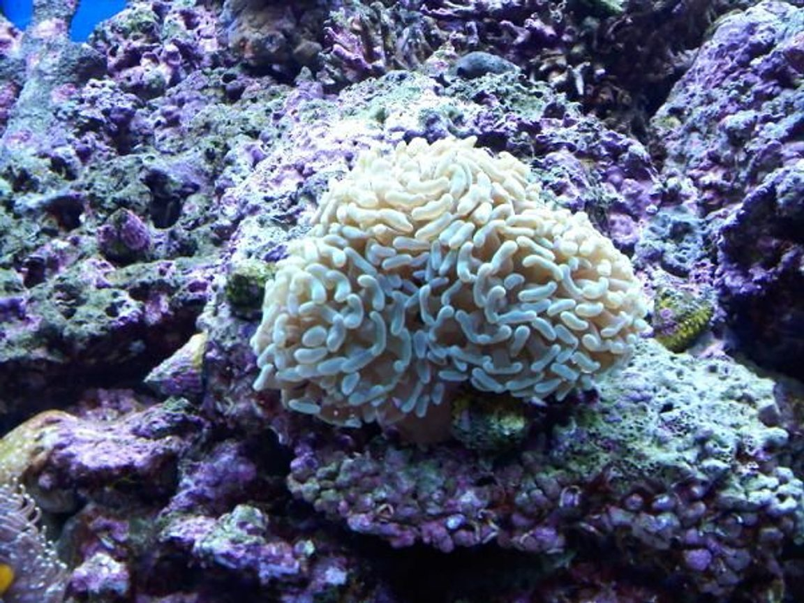 corals inverts - euphyllia paranchora - hammer / anchor coral, branching stocking in 120 gallons tank - branching hammer
