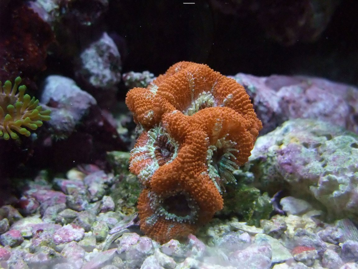 corals inverts - acanthastrea lordhowensis - aussie acan lord stocking in 130 gallons tank - Nice Little Acan :)