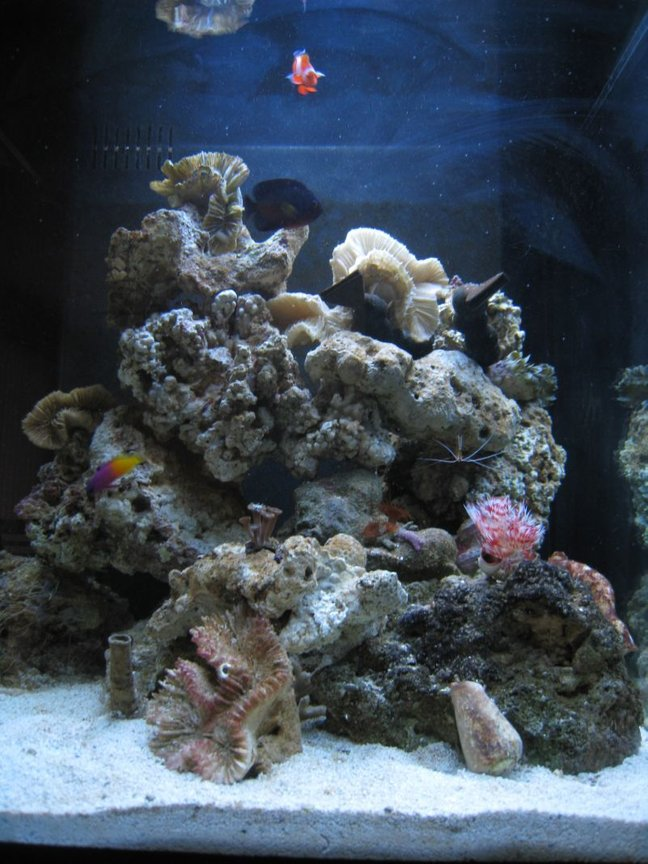 corals inverts - protula bispiralis - hard tube coco worm stocking in 35 gallons tank - My tank - 2.5 months old