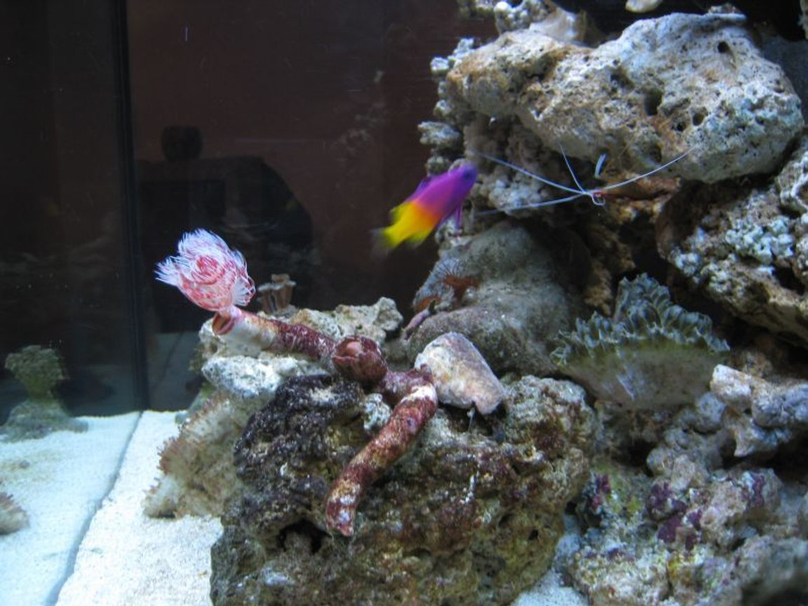 corals inverts - protula bispiralis - hard tube coco worm stocking in 35 gallons tank - fish