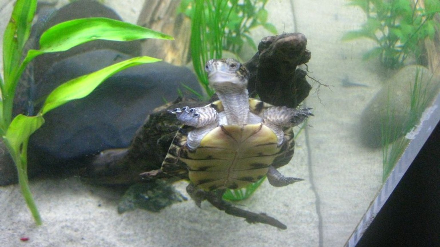 corals inverts - trachemys scripta scripta - yellow belly slider turtle stocking in 65 gallons tank - My Turtle