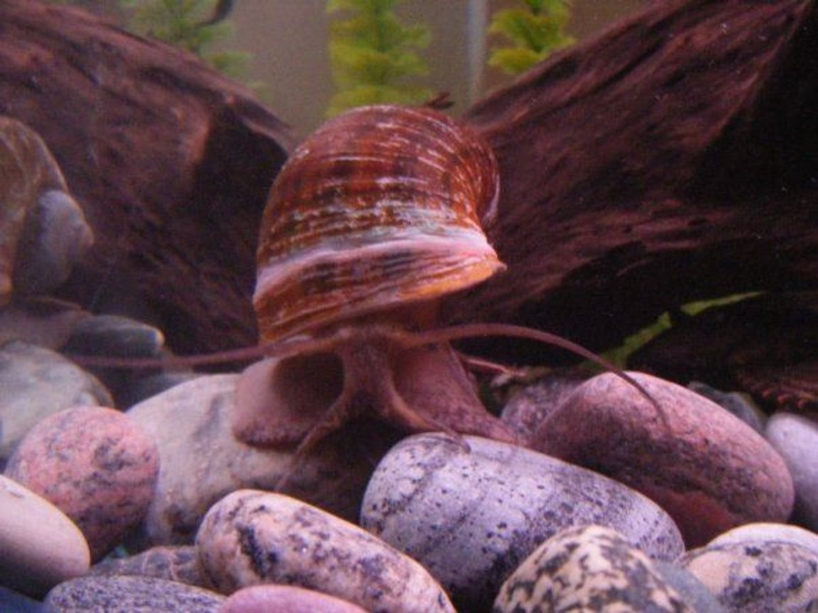 corals inverts - pomacea canaliculata - apple snail stocking in 55 gallons tank - This is Smalls, my giant snail. He is very active and loves to slide around. He will battle the Tin foil barbs for food and is all around funny.