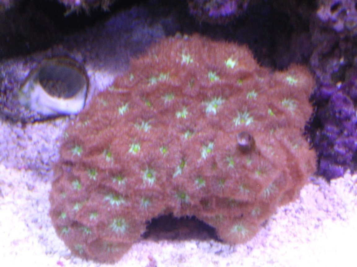 corals inverts - blastomussa merletti - australian big polyp blastomussa stocking in 100 gallons tank - blasto merletti 1 month old