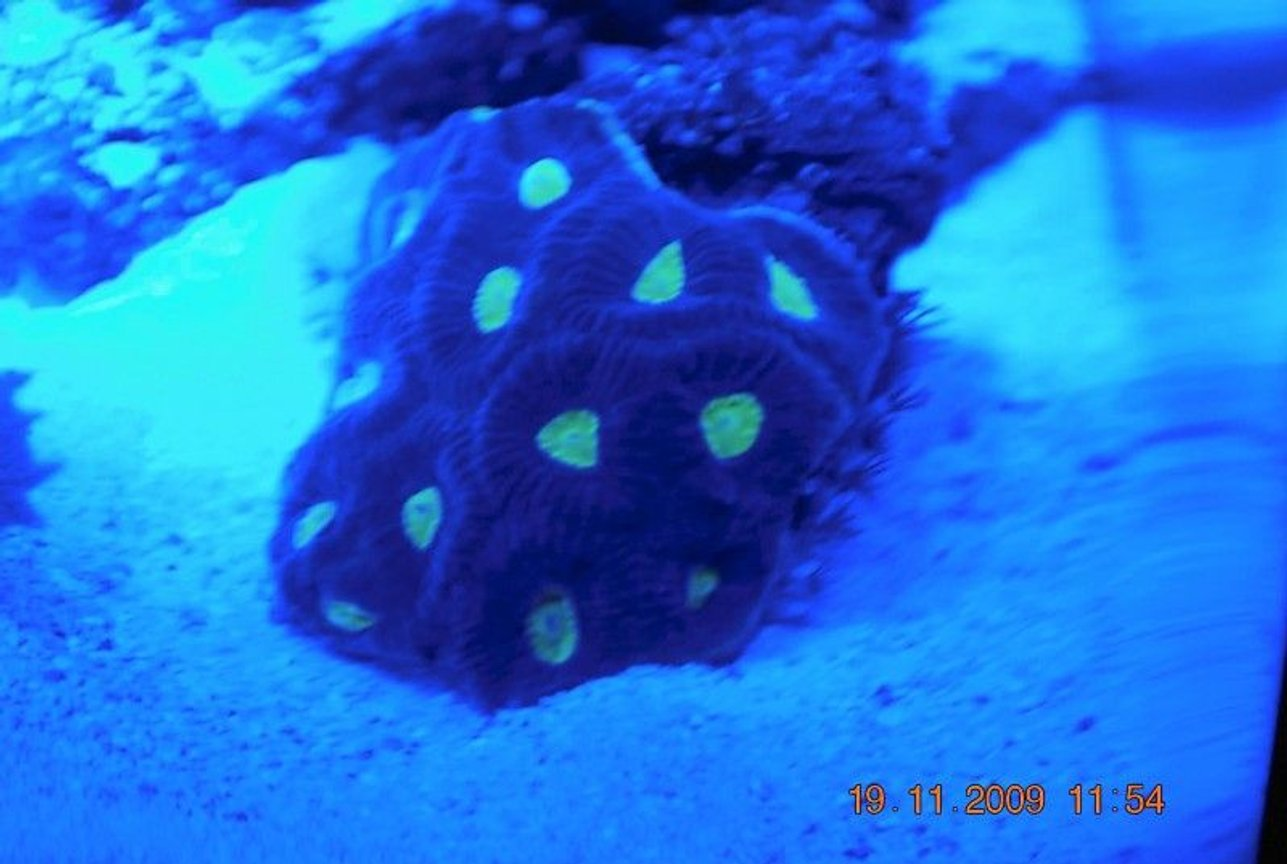 corals inverts - favites sp. - brain coral, favites stocking in 14 gallons tank - favia