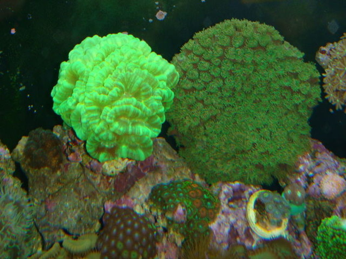 corals inverts - caulastrea furcata - kryptonite candy cane coral stocking in 90 gallons tank - Kryptonite Candy Cane and pagoda coral