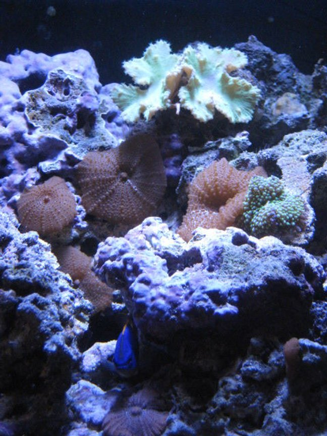 corals inverts - actinodiscus sp. - red mushroom stocking in 24 gallons tank - brown pimple mushrooms, ricordea, and a green leather coral with the fiji devil hiding between the rocks