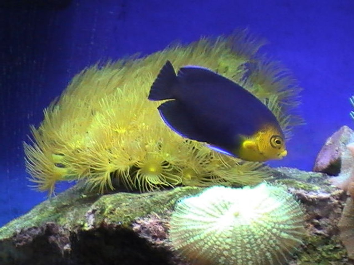 corals inverts - undescribed zoanthid - colony polyp, yellow stocking in 55 gallons tank - Zoo's and Angel