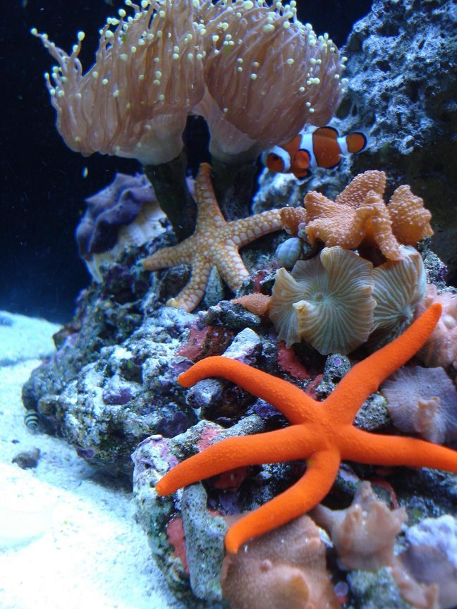 "corals inverts - echunaster sp. - orange linckia starfish stocking in 65 gallons tank - ORANGE LINKIA STAR, PINK TILE STAR, SANDSIFTING STAR, BUMBLE BEE SNAIL, BLUE LEGGED HERMIT, FANTASTIC MUSHROOM ROCK, GREEN TIPPED PINK TORCH, DERASA CLAM, AND OCELLERUS CLOWN ""JOE"""