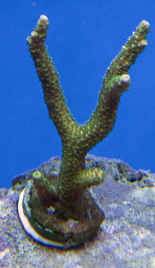 corals inverts - acropora yongei - bali green slimer stocking in 120 gallons tank - Green slimer