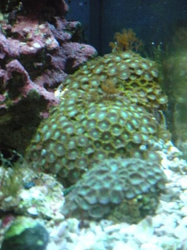 "corals inverts - zoanthus sp. - colony polyp, orange/green stocking in 28 gallons tank - green and ""goliath"" zooanthids"