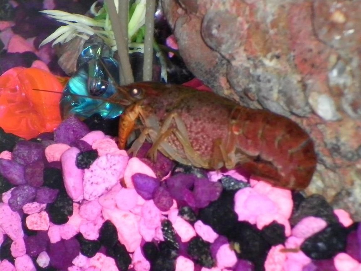 corals inverts - cherax sp. - sunburst fire lobster stocking in 29 gallons tank - My cray hanging out in the rocks.