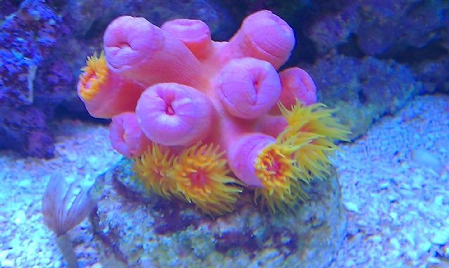 corals inverts - tubastrea faulkneri - orange sun coral stocking in 72 gallons tank - Pink Sun