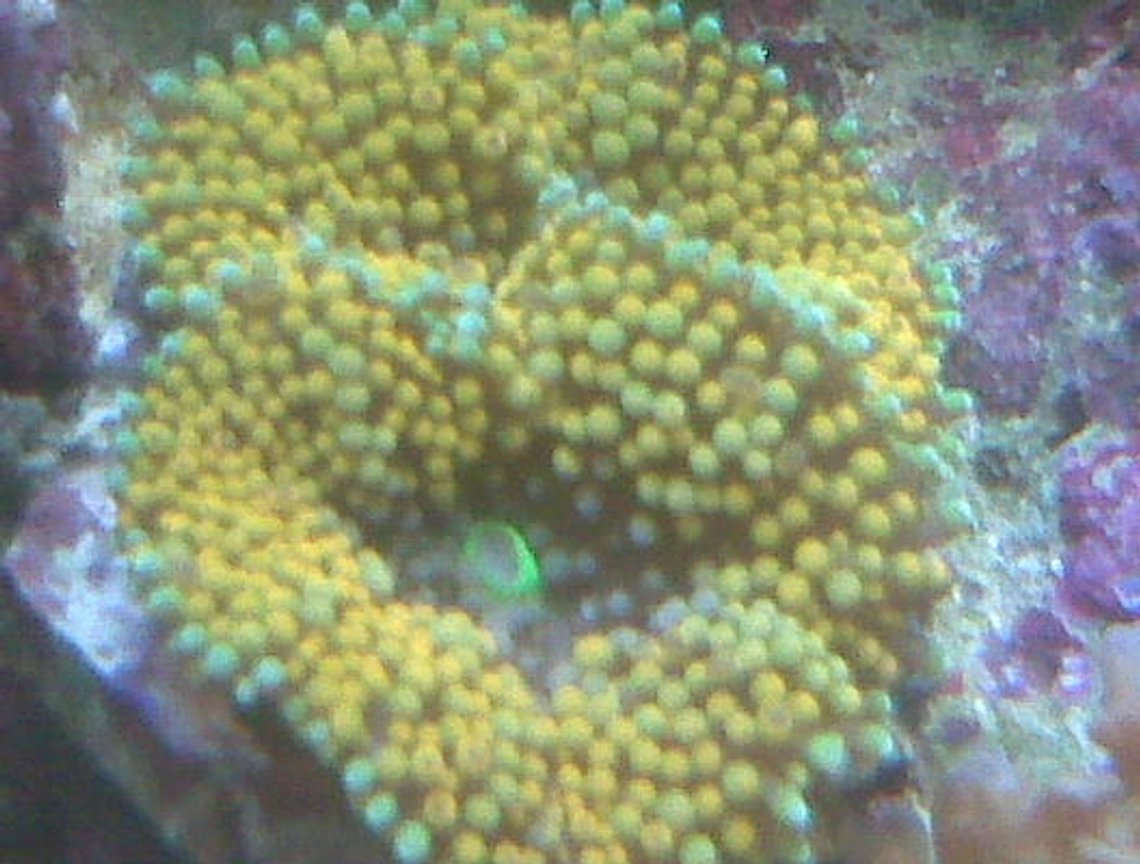corals inverts - ricordea florida - ricordea mushroom stocking in 90 gallons tank - yellow soft coral