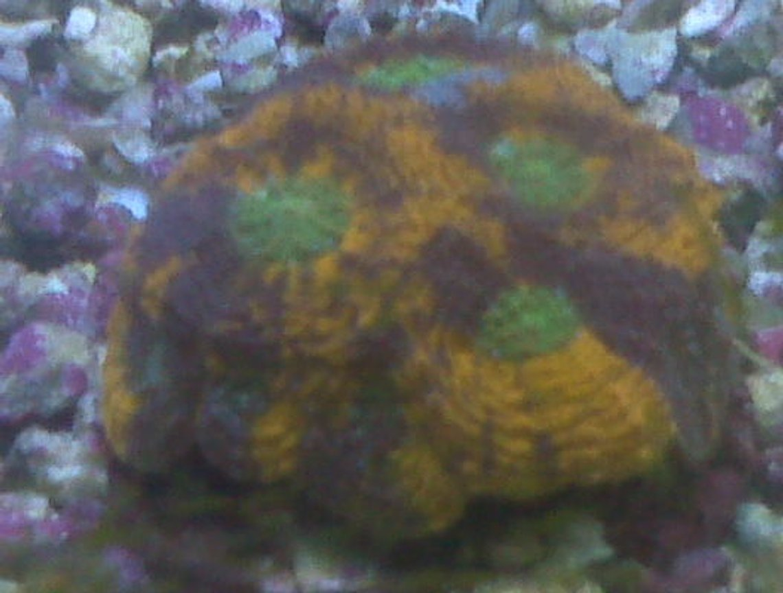 corals inverts - acanthastrea echinata - acan brain coral stocking in 90 gallons tank - colorful