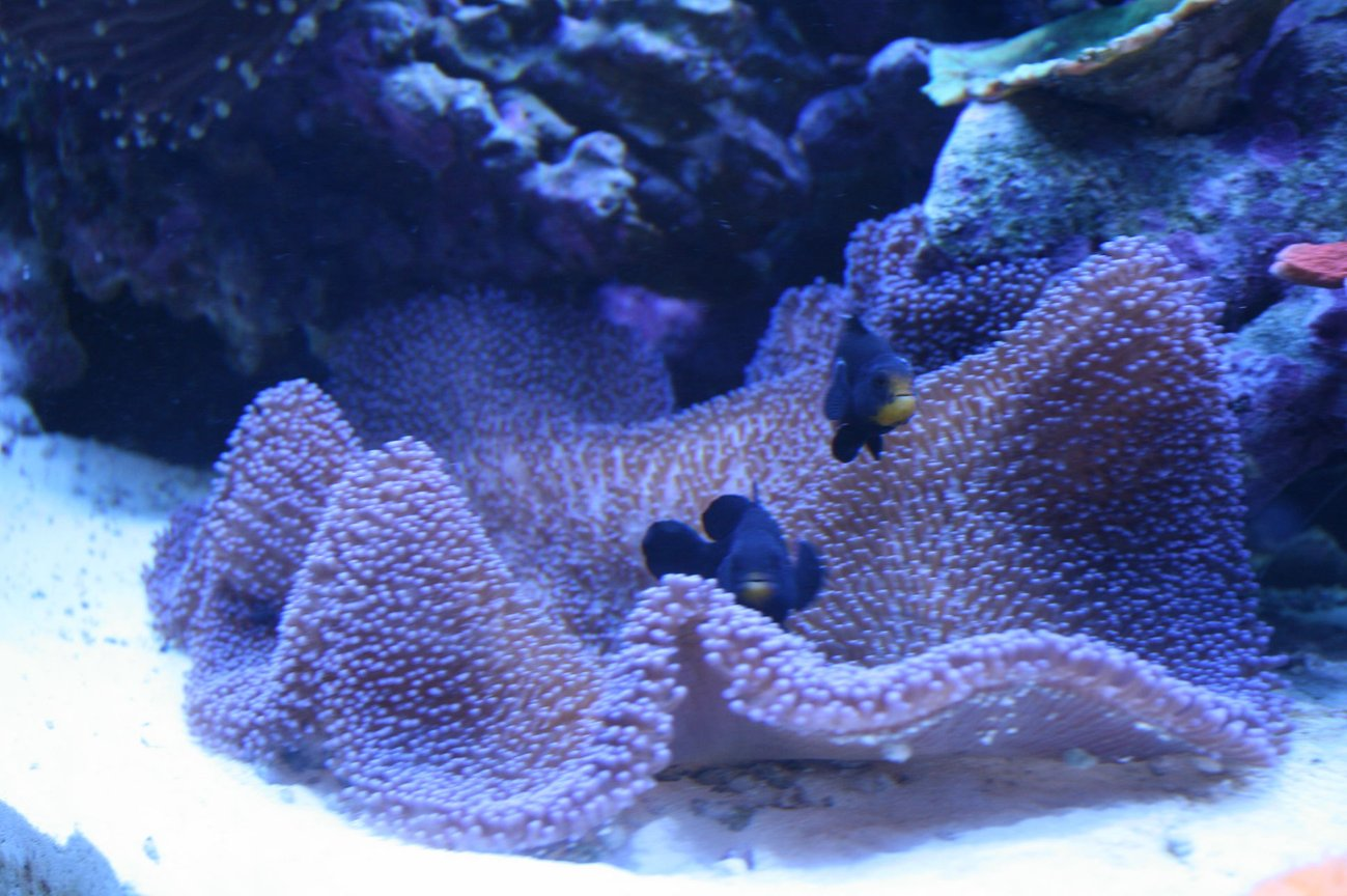 corals inverts - stichodactyla haddoni - carpet anemone stocking in 90 gallons tank - Purple Carpet and Midnight Clowns