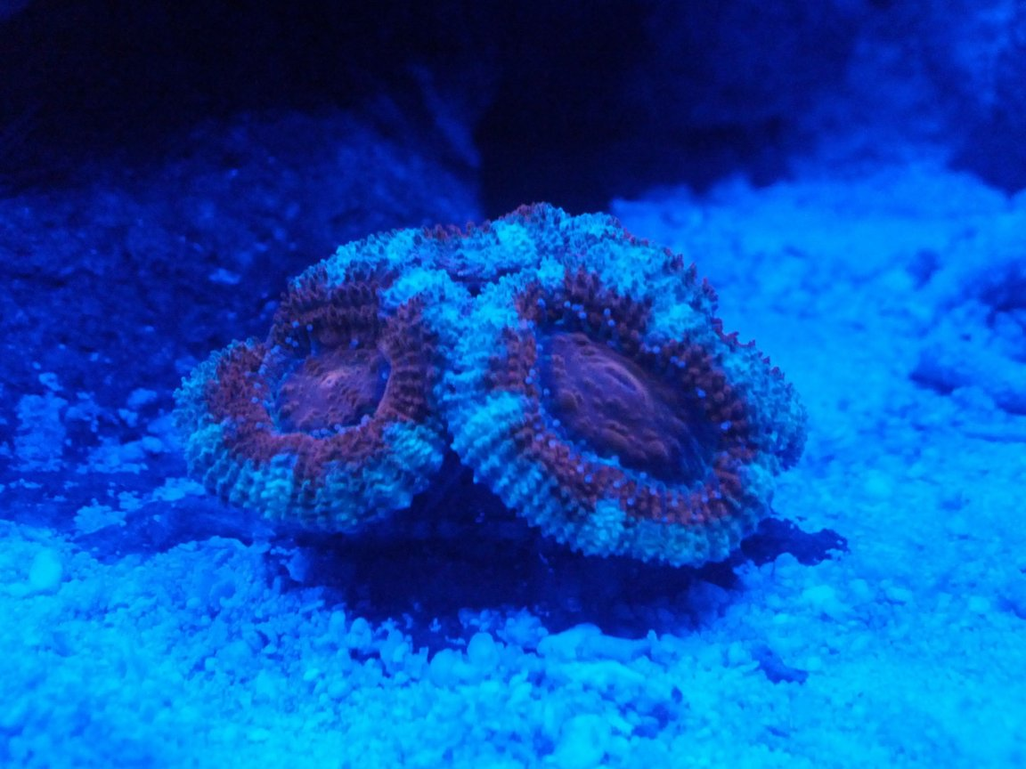 corals inverts - acanthastrea lordhowensis - acan stocking in 8 gallons tank - 3