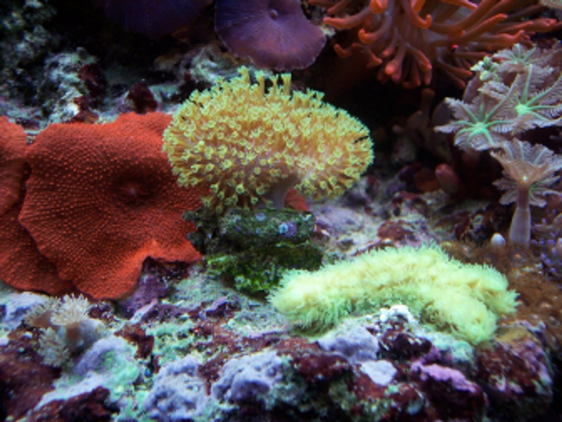corals inverts - sarcophyton sp. - green polyp leather stocking in 150 gallons tank - Combo - green polyp leather & more