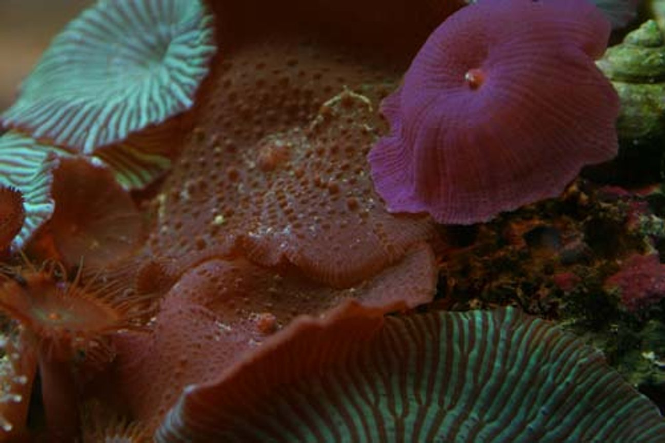 corals inverts - actinodiscus sp. - red mushroom stocking in 20 gallons tank - Assorted mushrooms, they look very nice together but it is a real pain to get them to attach where you want them to achieve this result!