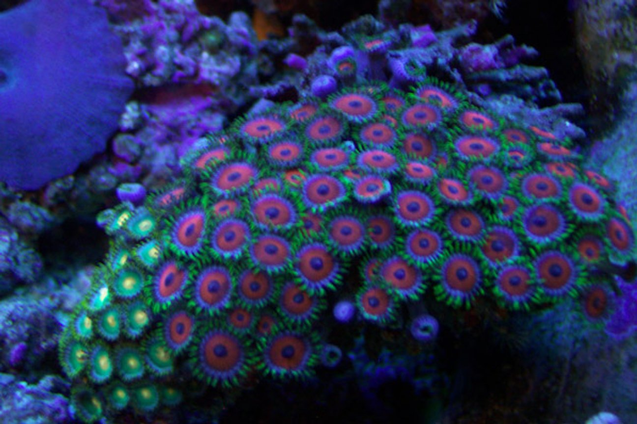 corals inverts - zoanthus sp. - button polyp stocking in 46 gallons tank - A good shot of my red and green zoos