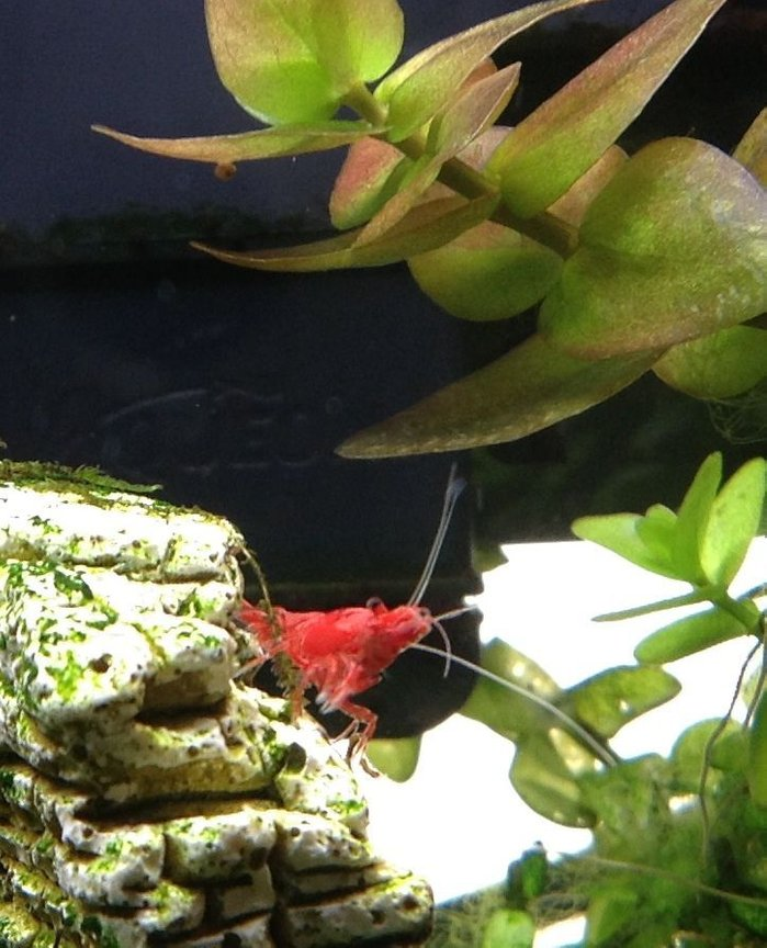 corals inverts - neocaridina denticulata sinensis - red cherry shrimp stocking in 20 gallons tank - Cherry shrimp
