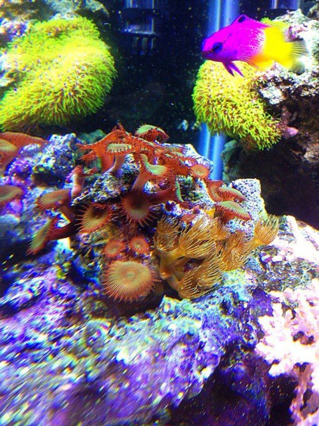 corals inverts - protopalythoa sp. - button polyp stocking in 45 gallons tank - protopallythoas