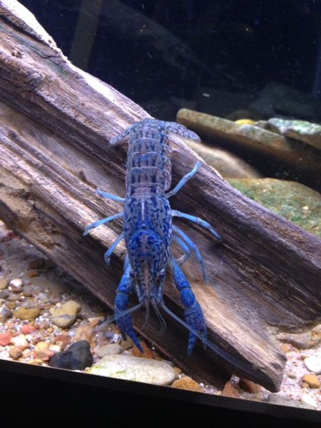 corals inverts - cherax destructor - blue knight lobster stocking in 120 gallons tank - beautiful marbled crayfish. have no idea why they are blue. i also have some that are red.