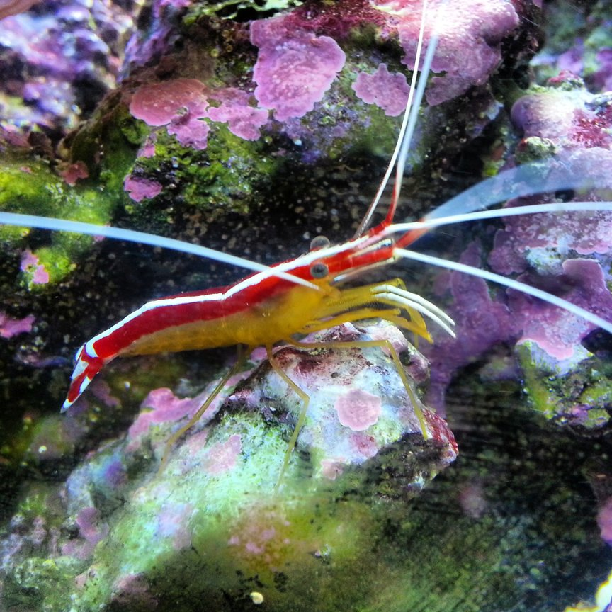 corals inverts - lysmata amboinensis - scarlet skunk cleaner shrimp stocking in 30 gallons tank - Cleaner shrimp