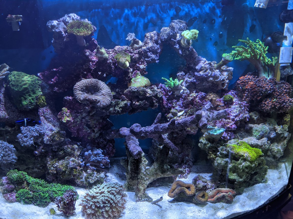 corals inverts stocking in 46 gallons tank - Reef