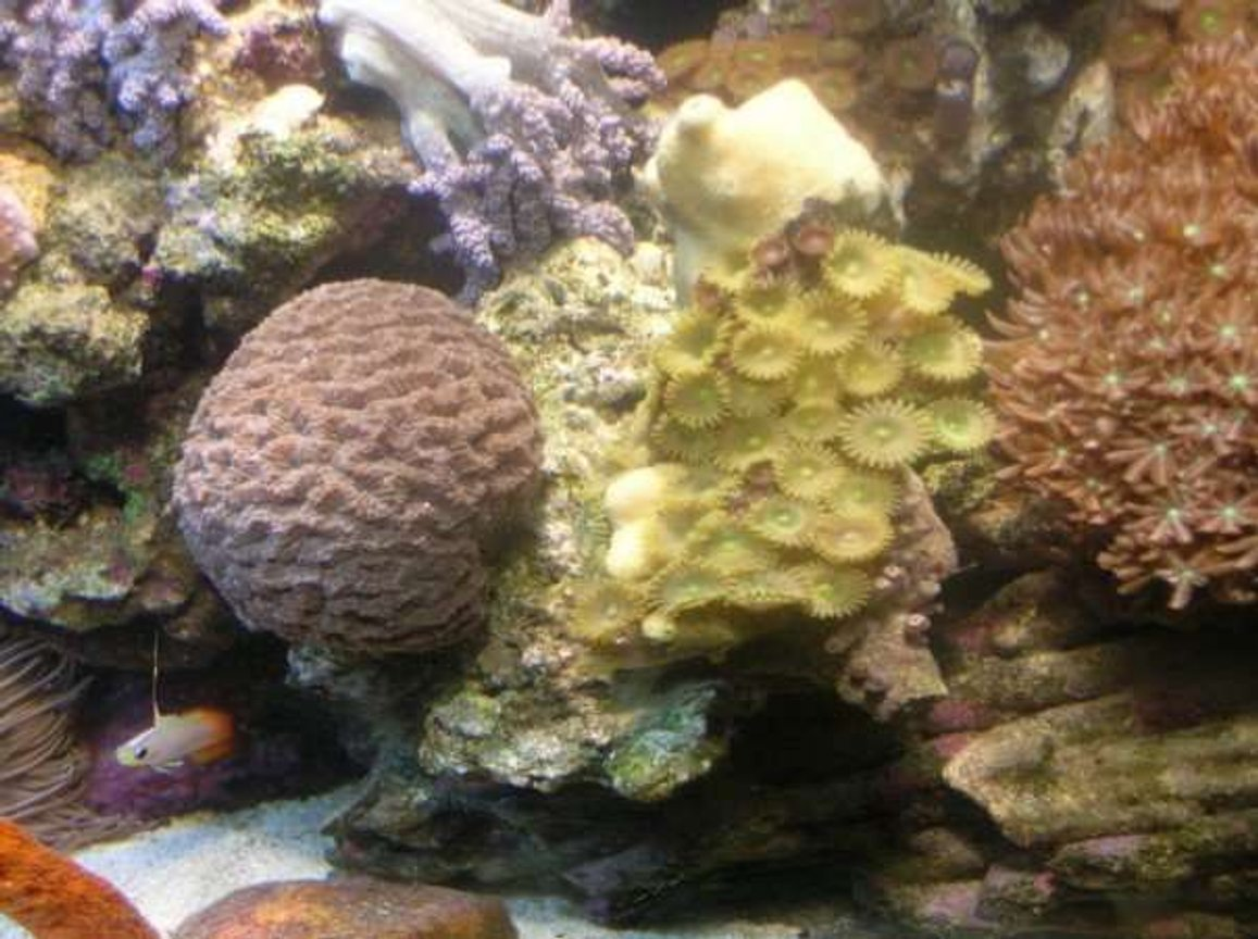 corals inverts - platygyra sp. - maze brain coral stocking in 90 gallons tank - Brain Coral and Button Polyps
