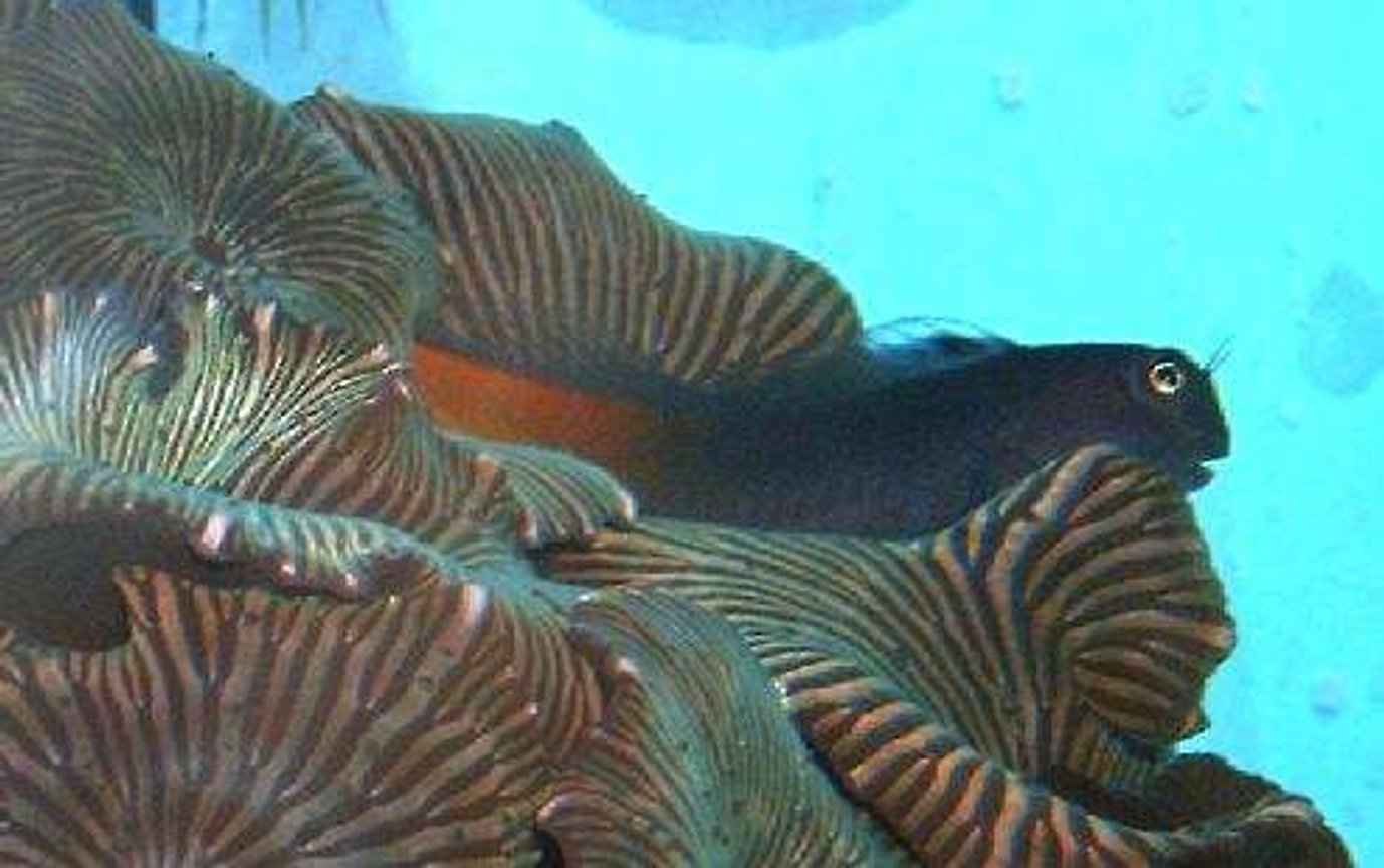 corals inverts - actinodiscus sp. - striped mushroom stocking in 160 gallons tank - Reeeelllaaaax