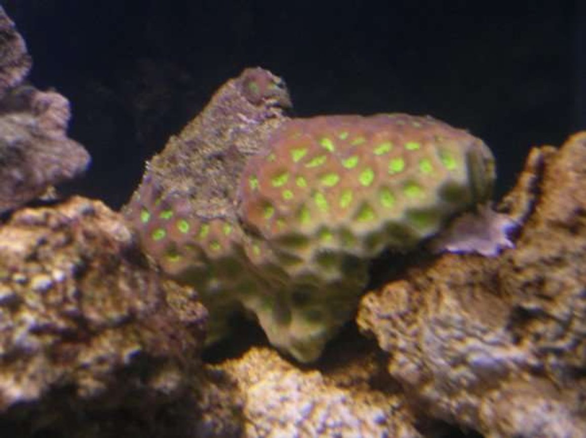 corals inverts - favites sp. - prism favia stocking in 90 gallons tank - Pineapple Brain Coral.
