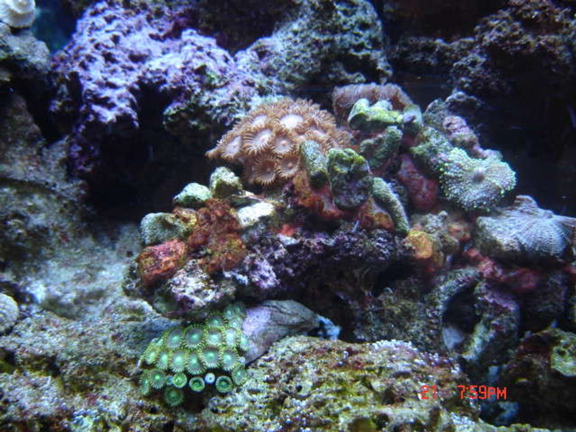 corals inverts - zoanthus sp. - colony polyp stocking in 38 gallons tank - 38 Gallon Reef close up