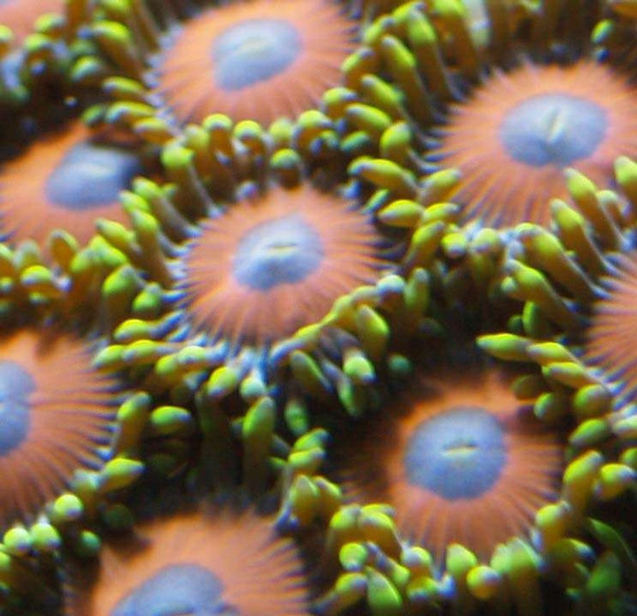 corals inverts - zoanthus sp. stocking in 90 gallons tank - small eagle eye polip shot got about 10 to start about 5 months ago now have about 150-200 polips