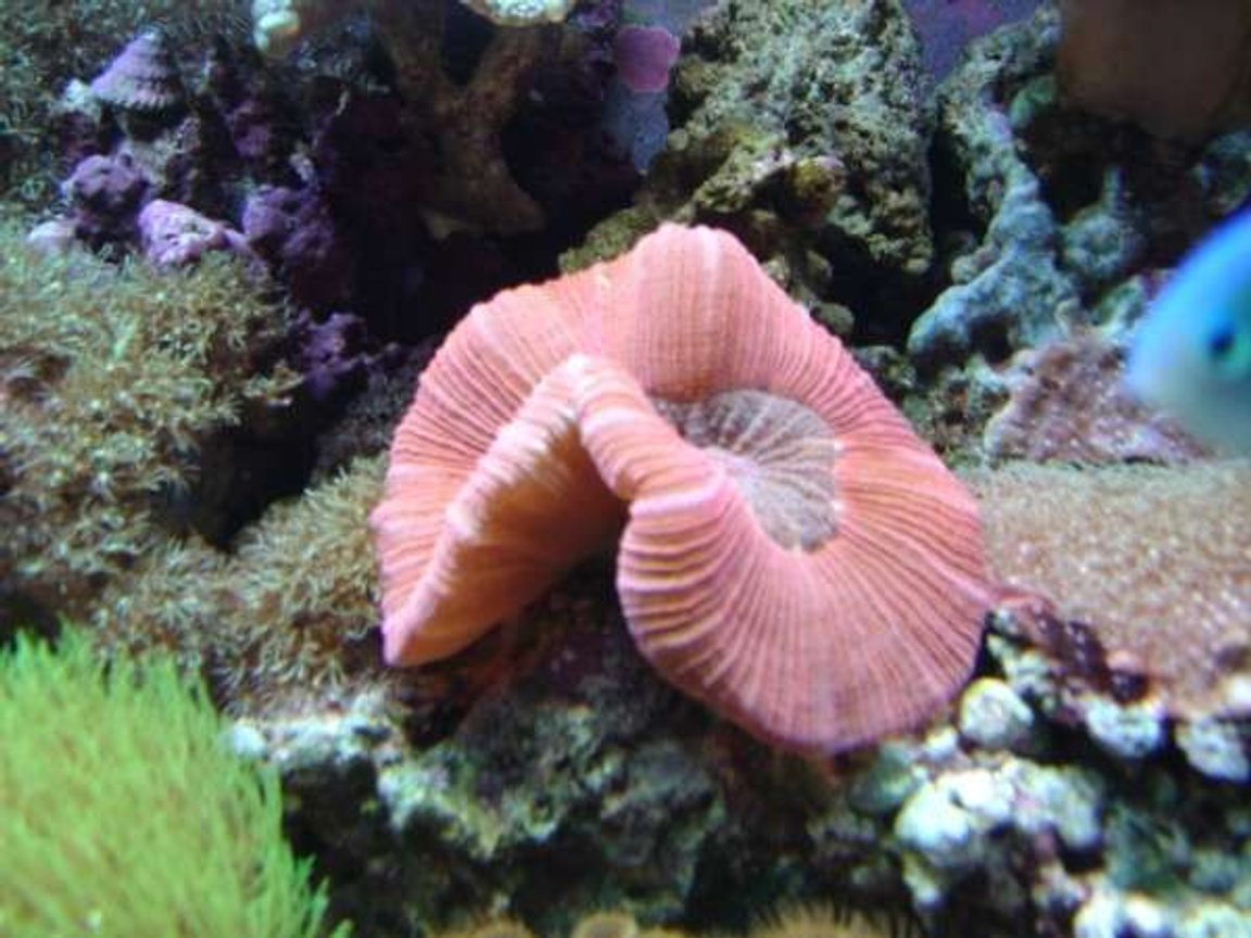 corals inverts - trachyphyllia geoffroyi - brain coral, trachyphyllia stocking in 112 gallons tank - red open brain