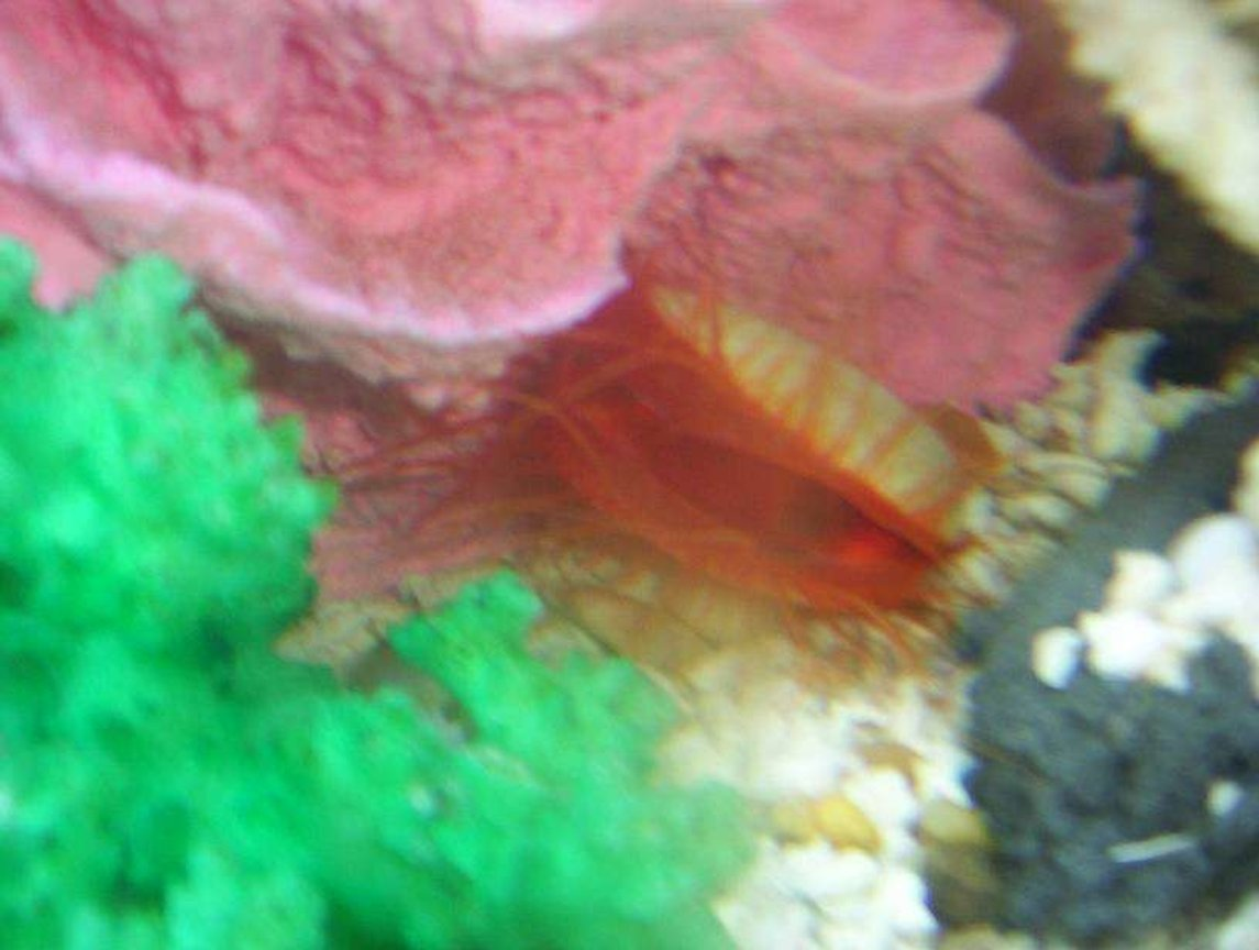 corals inverts - lima scabra - flame scallop stocking in 55 gallons tank - flame scollop