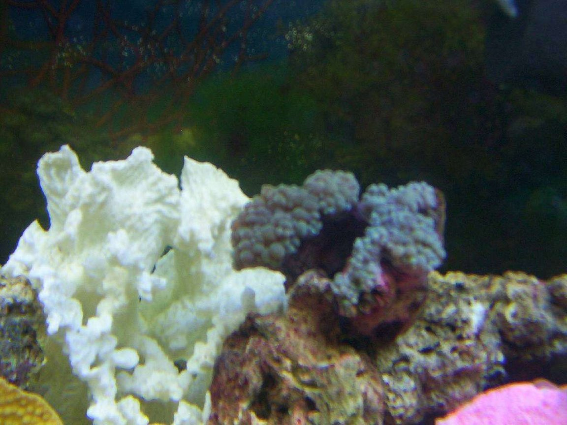 corals inverts - physogyra sp. - bubble coral stocking in 55 gallons tank - bubble coral