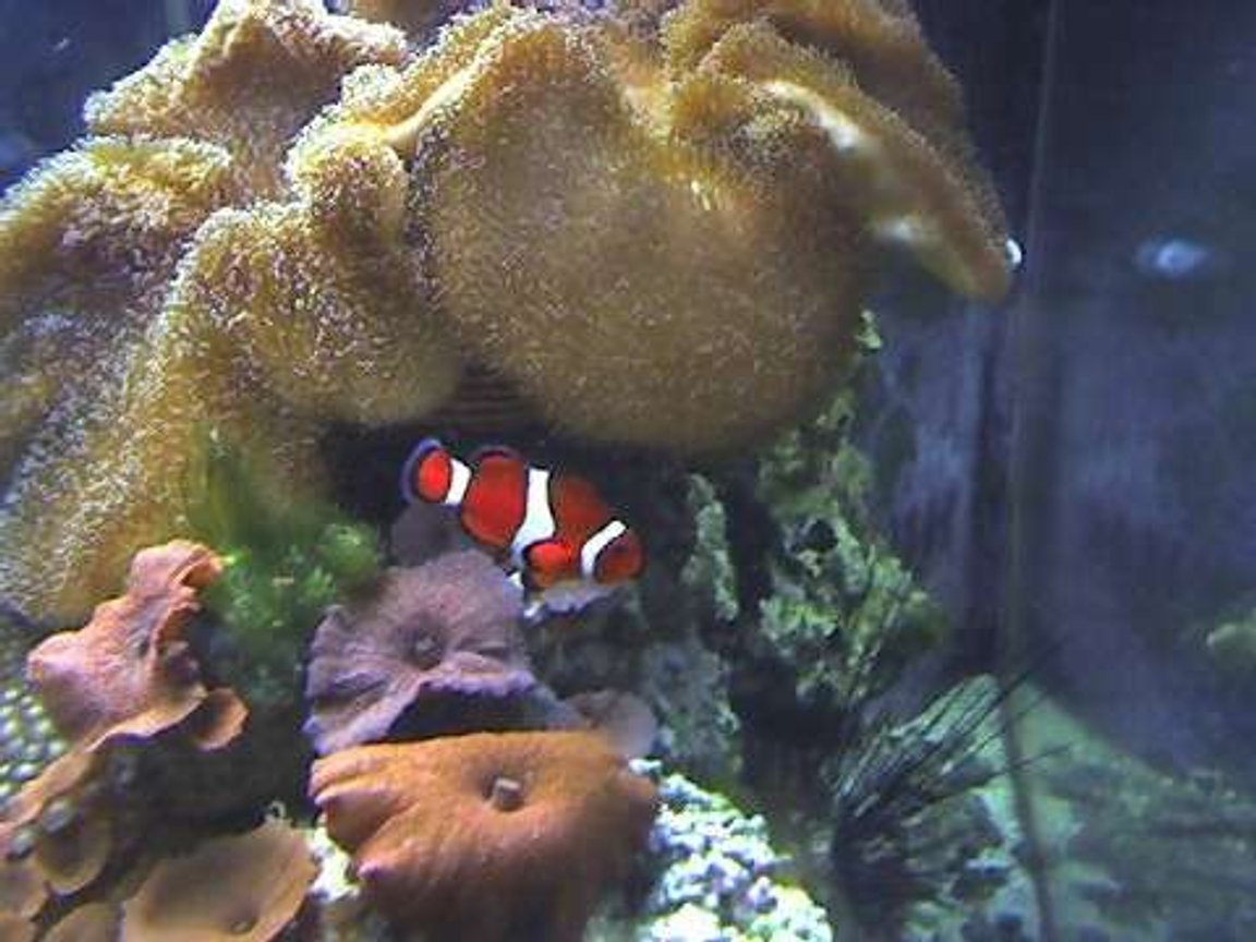 corals inverts - actinodiscus sp. - red mushroom stocking in 29 gallons tank - 180 gallon Reef tank
