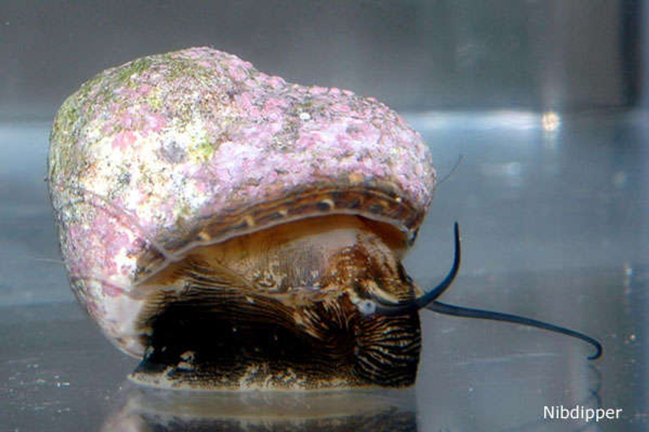 corals inverts - margarites pupillus - margarita snail stocking in 24 gallons tank - Marguerita Snail in acclimation tank