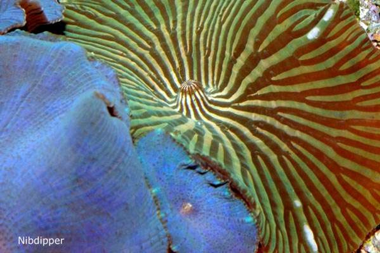 corals inverts - actinodiscus sp. - blue striped mushroom stocking in 24 gallons tank - Discosoma