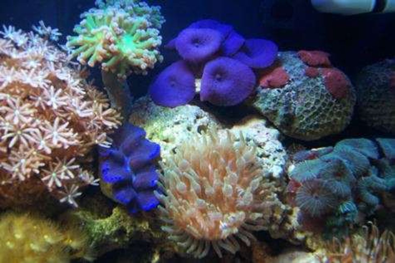 corals inverts - clavularia sp. - clove polyp stocking in 12 gallons tank - Mushrooms, clam, frogspwan, bubble tip anemone and clove poylps.