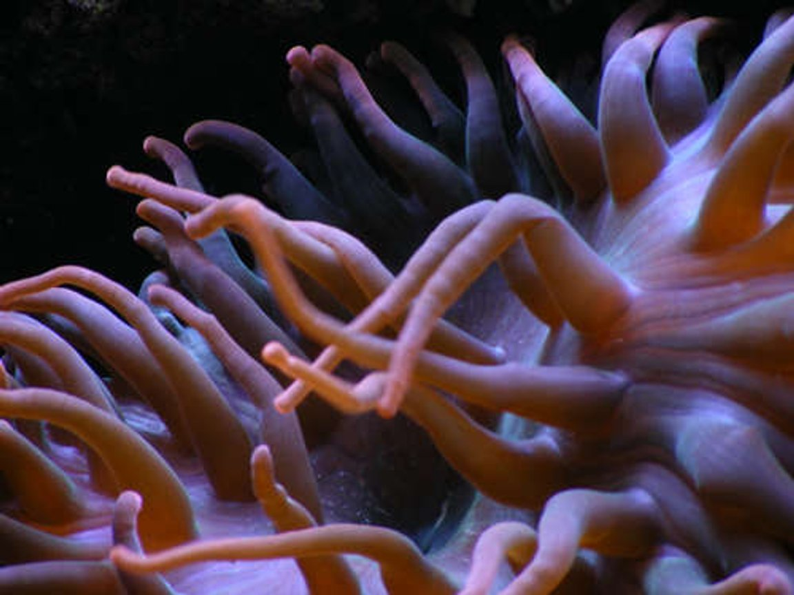 corals inverts - macrodactyla doreensis - long tentacle anemone stocking in 90 gallons tank - large anenome