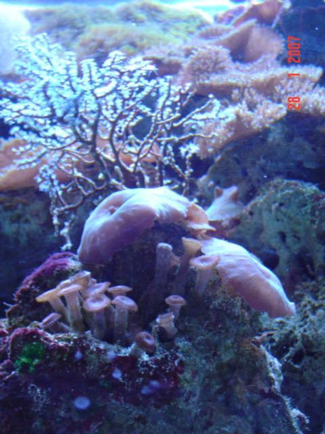 corals inverts - actinodiscus sp. - red mushroom stocking in 110 gallons tank - our tank