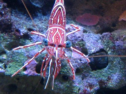 corals inverts - lysmata wurdemanni - peppermint shrimp stocking in 90 gallons tank - Peppermint