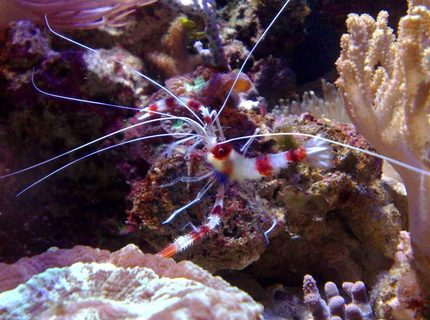 corals inverts - stenopus hispidus - banded coral shrimp stocking in 55 gallons tank - coral banded shrimp